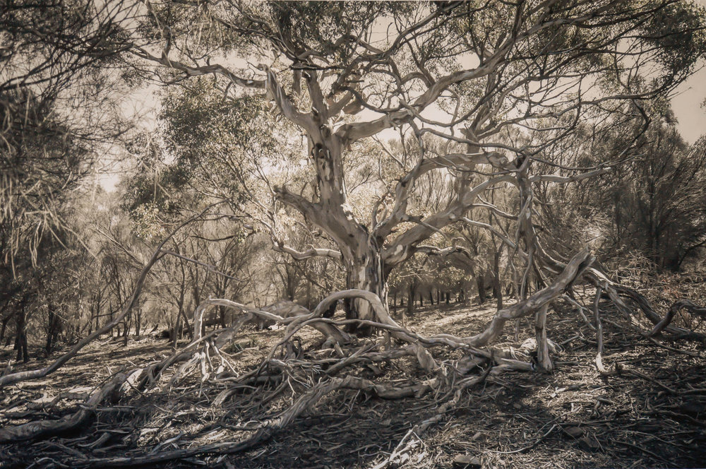 Eucalyptus Tree, Fallen Boughs, Kangaroo Island