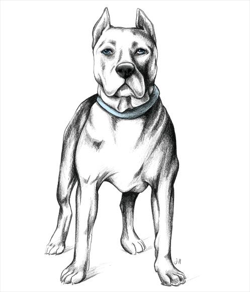 pitbull_standing