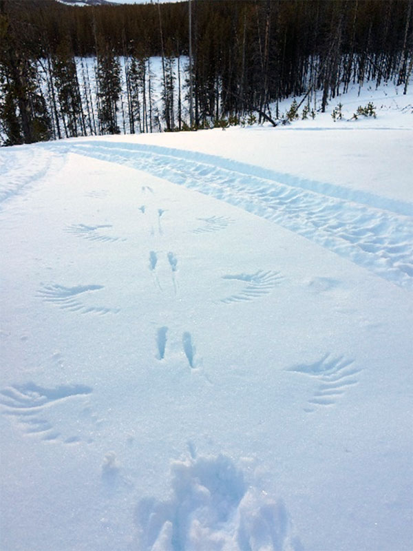 Wing and feet marks left by bird of prey.