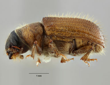 Douglas-fir bark beetle.Lindsey Seastone Museum Collections Coleoptera