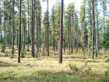 Lodgepole thinning on private land in the Swan Valley. SVC photo.