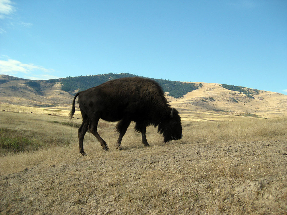 The National Bison Range in the Mission Valley