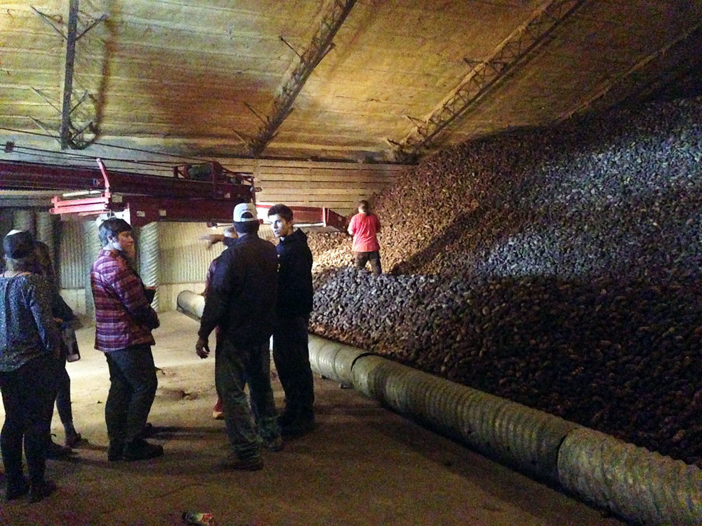 Checking out a massive pile of seed potatoes!