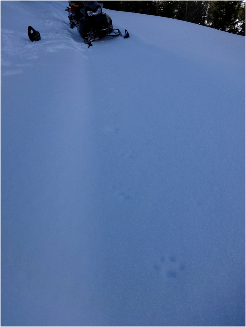 A Canada lynx track barely registering in the layer of hoar frost on a crusty snow morning. The crust was thick enough that the lynx would stay on top of the snow, only occasionally breaking through the crust.