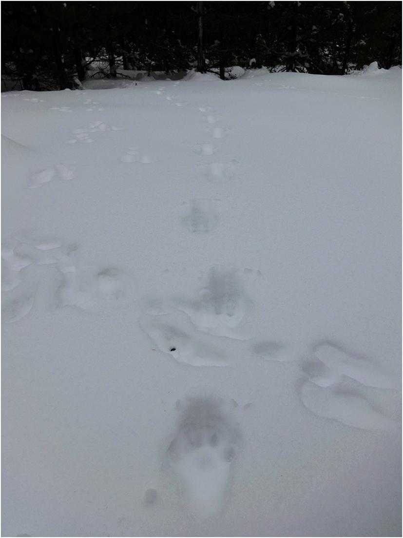 Canada lynx tracks