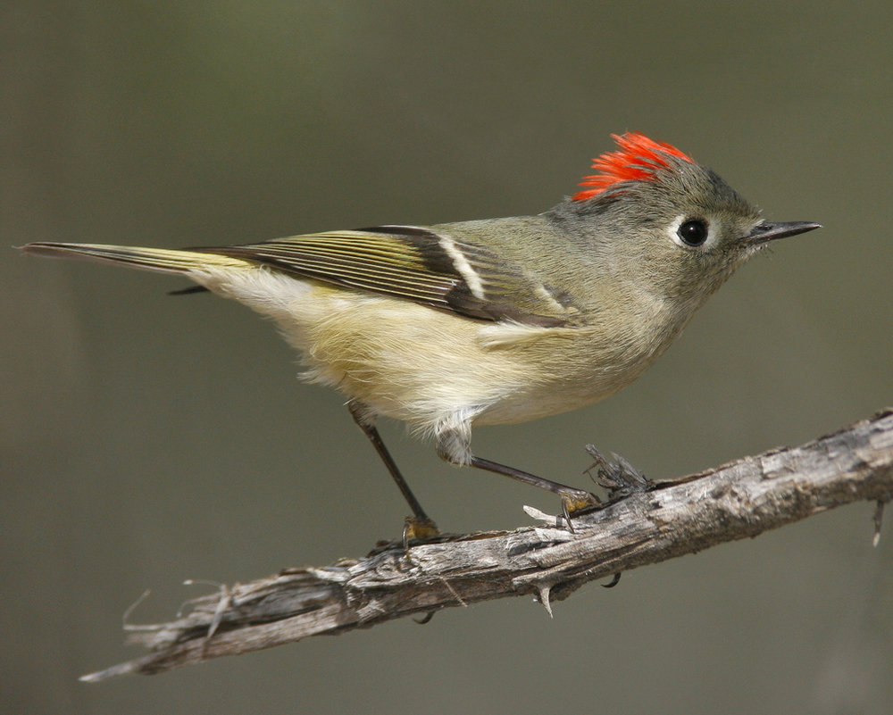 Ruby-crowned kinglet - Credit_Brian E. Small.jpg
