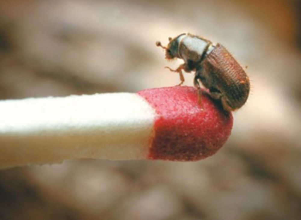 Bark beetles typically overwinter as larvae just below the bark of trees. Air temperatures define their emergence as adults, with Douglas-fir beetles typically beginning to fly around April 15, and mountain pine beetles between June 15 and July 1. Photo Credit: James Woodcock –  Billings Gazette