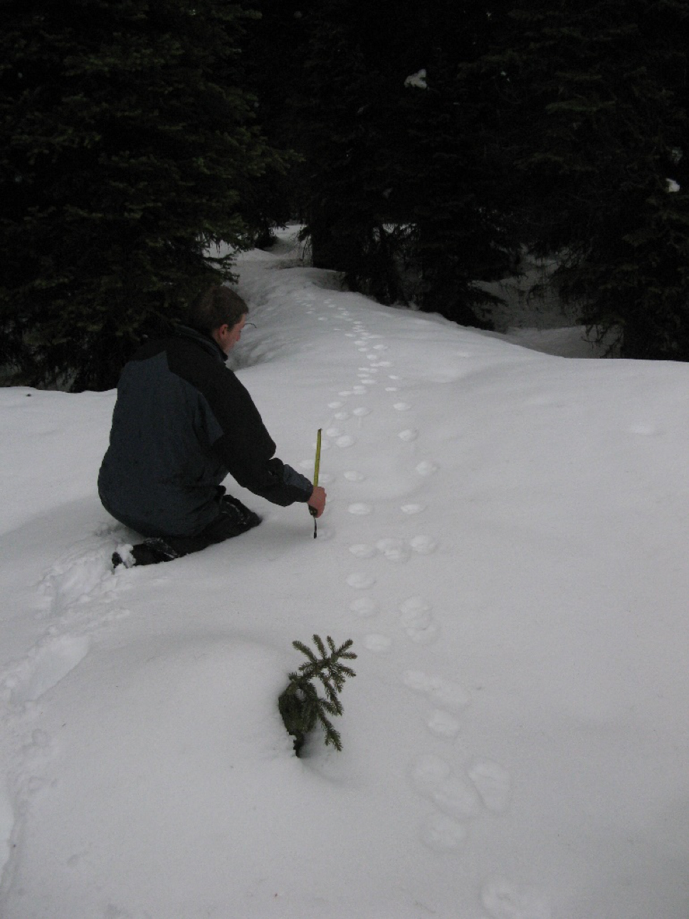 Mike Mayernik measuring tracks from a family of 3 lynx.