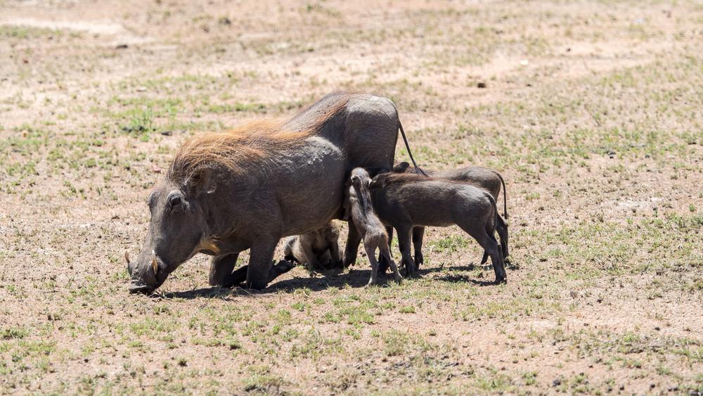 Baby Warthogs Feeding
