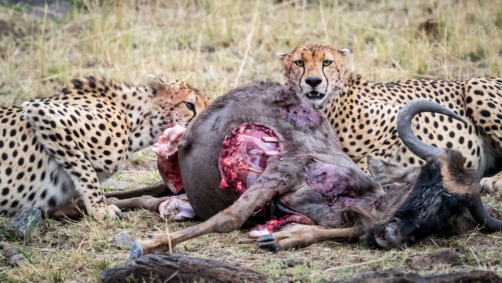 Cheetahs Dine on Wildebeest