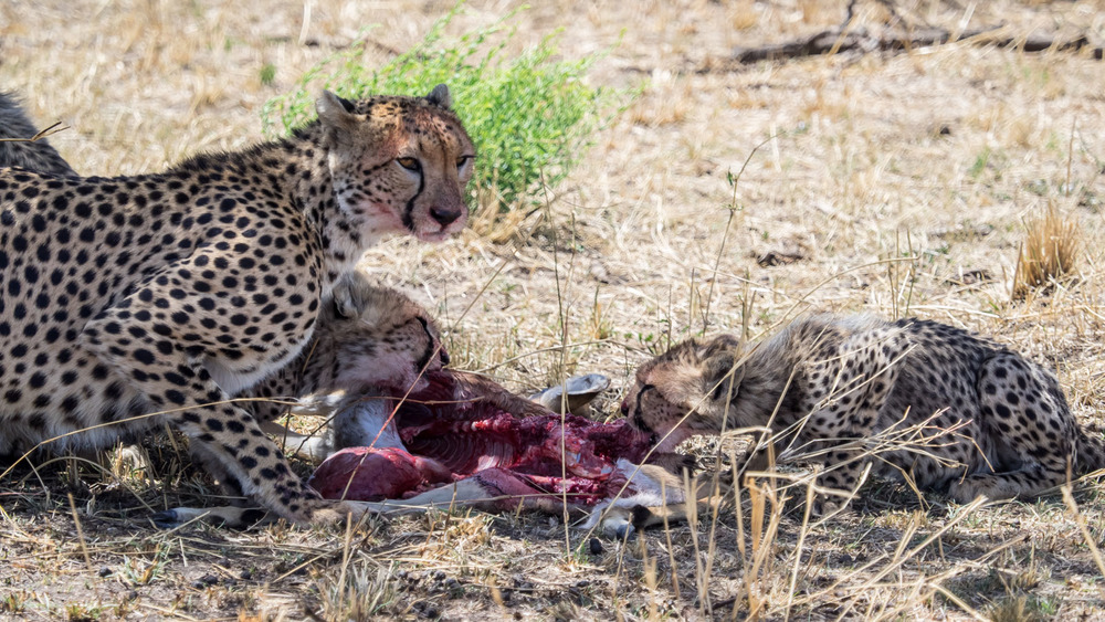 Cheetah Feeds Her Young Cubs
