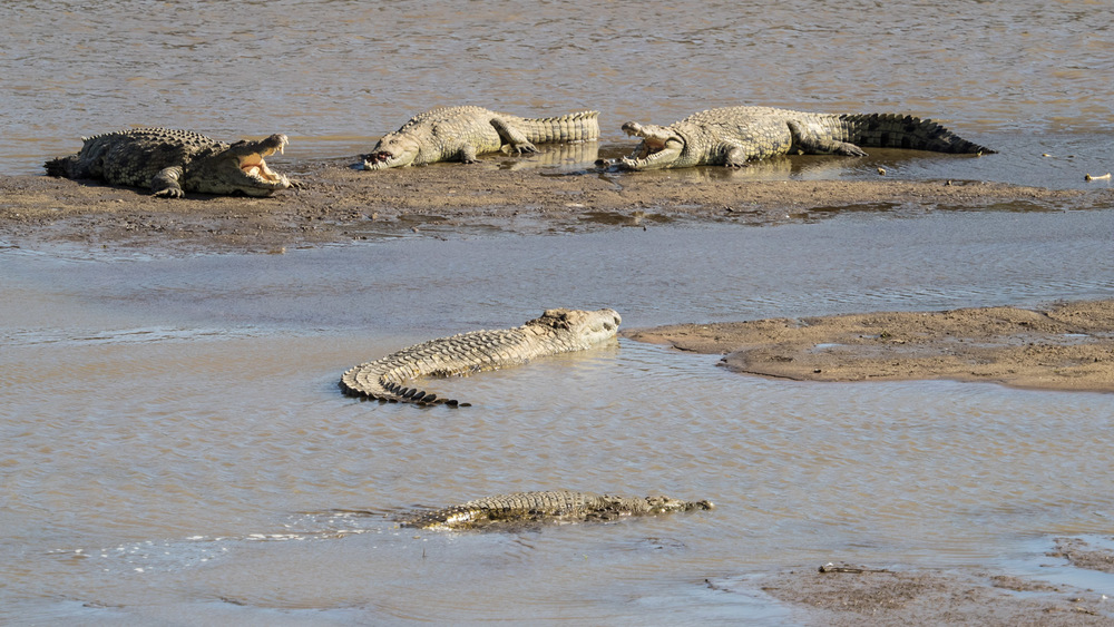 Crocodiles Rest Before Wildebeest Crossing
