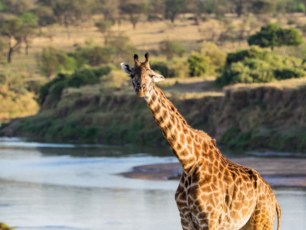 Giraffe by the River Mara