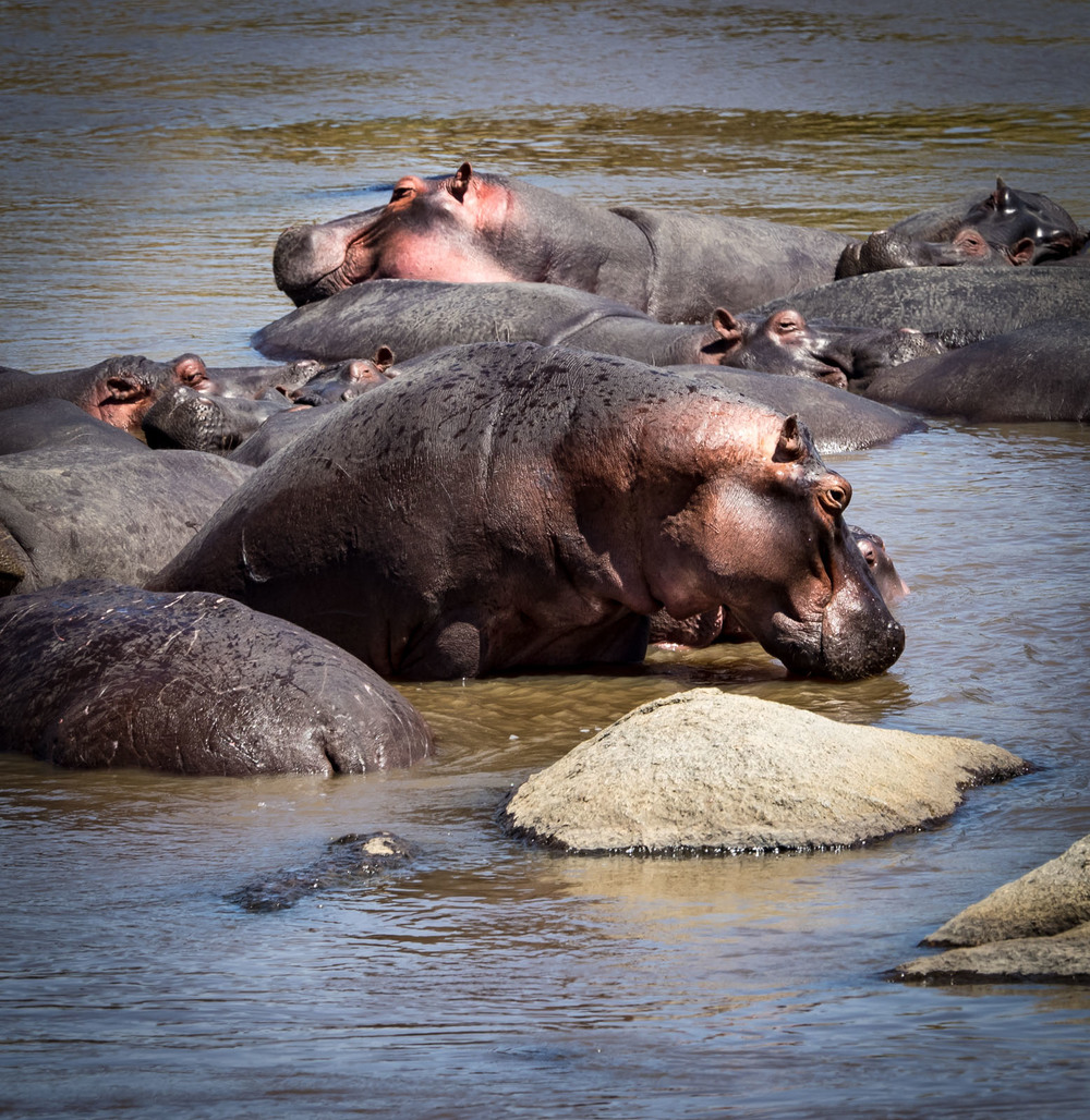 Hippos Rest in the Mara River