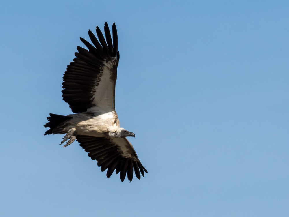 African White-Backed Griffon Vulture