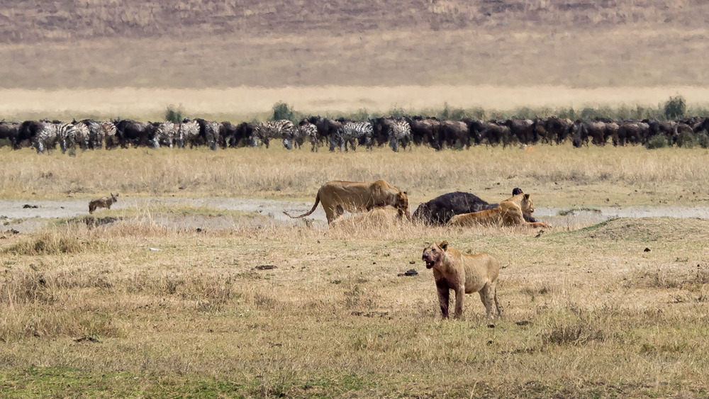 Lions Feed on a Cape Buffalo