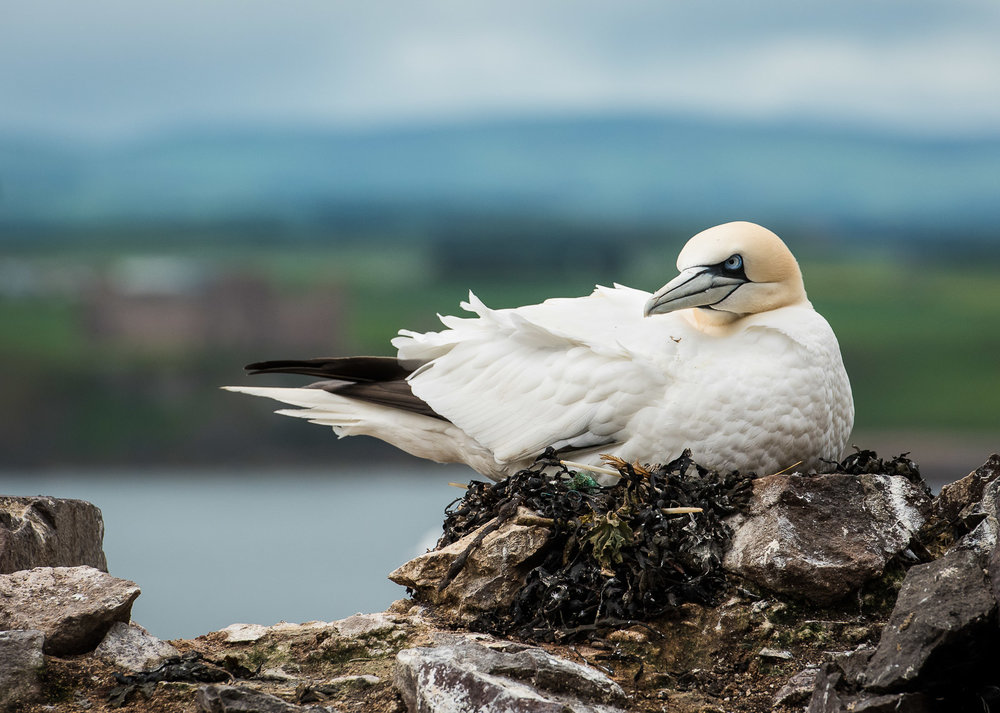 Nesting on the Ruins of St Baldred's Chapel