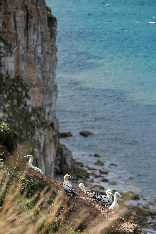 Adolescents Occcupy the Fringes at Bempton Cliffs