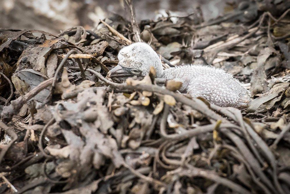 Abandoned Gannet Chick