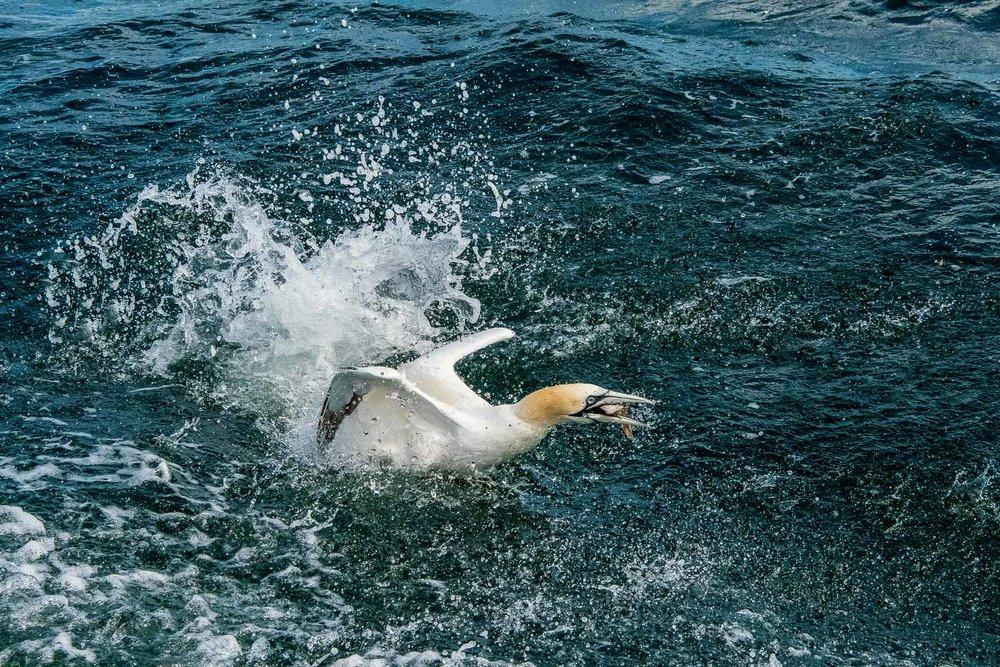 Gannet resurfacing