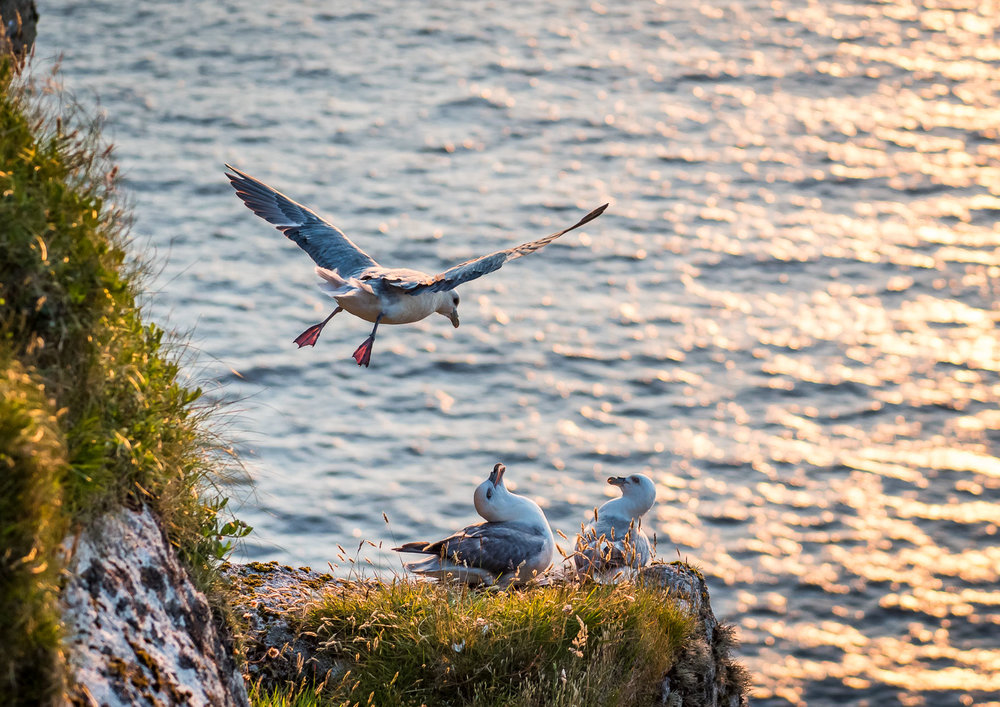 Fulmars on Conachair cliffs.  Nikon D810 24-70mm f2.8 at 70mm. 1/1000sec f3.5 ISO 640