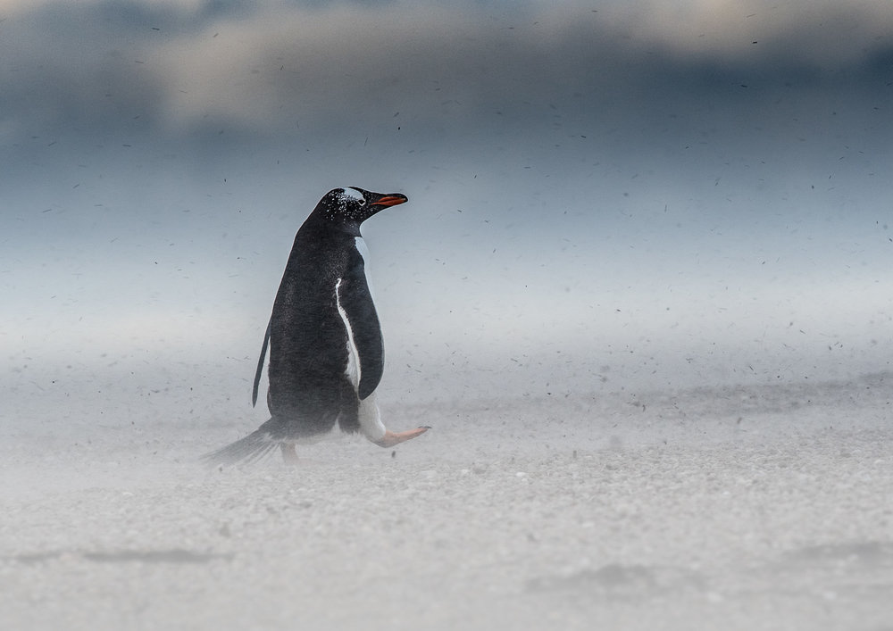 A gentoo penguin walking into the teeth of the wind, laced with fine particles of sand and grit.  Nikon D500 300mm f4; 1/250sec f7.1 ISO 1000