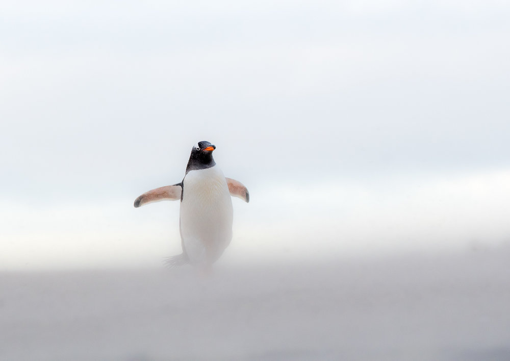 FLOATING ON SAND: a gentoo penguin appearing to gracefully float above the sand.  Nikon D500 300mm f4 1/320sec   f 7.1 ISO 1000  Floating on Sand  was shortlisted for the  NHM Wildlife Photographer of the Year 2017  award and appeared on the front cover of  Wildlife Photographic Magazine  (Sept/ Oct 2017)