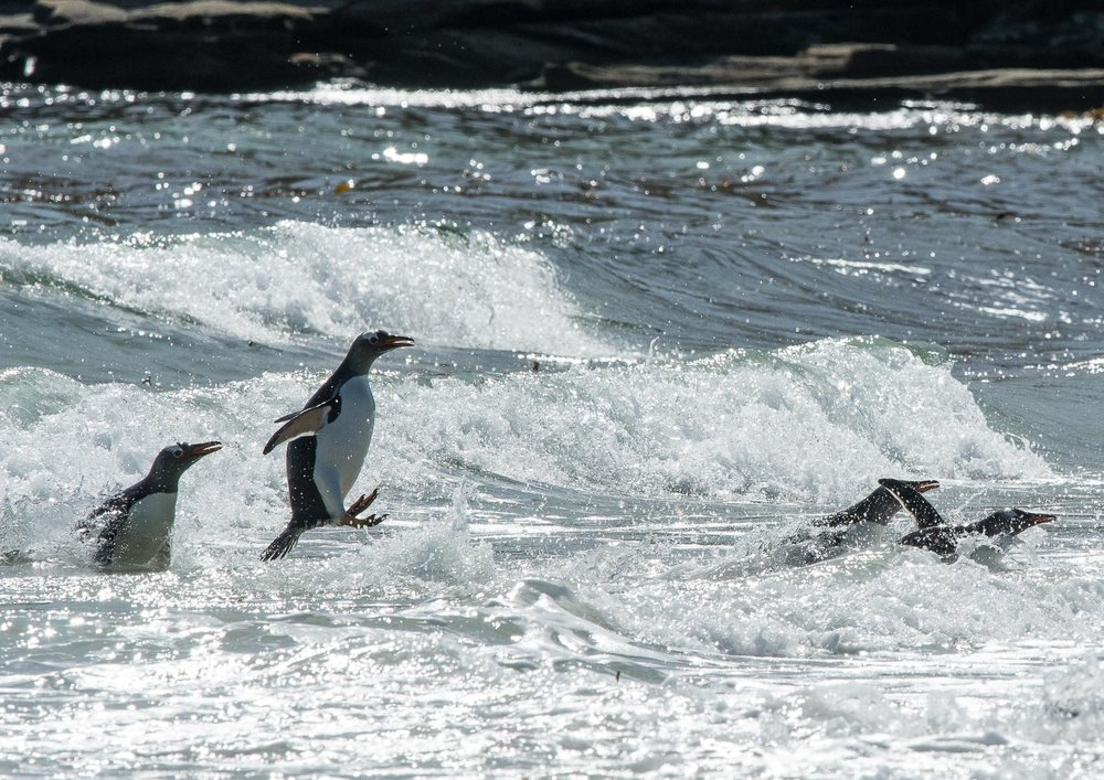 More of a jumping rather than flying penguin, taken against the sparkling highlights of the crashing waves.  Nikon D500 300mm f4; 1/3200sec f11 ISO 800