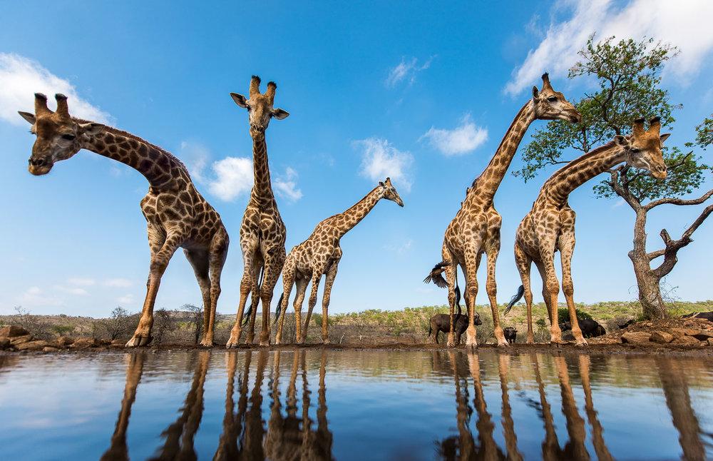 Giraffe Quintet