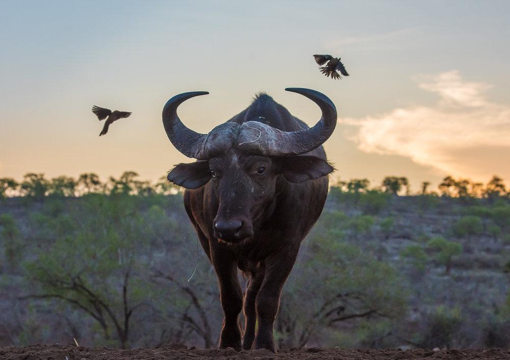 UMGODI: Cape Buffalo and Ox-Peckers  Nikon D810 70-200mm f2.8 at 85mm. 1/640, f5.6, ISO1000