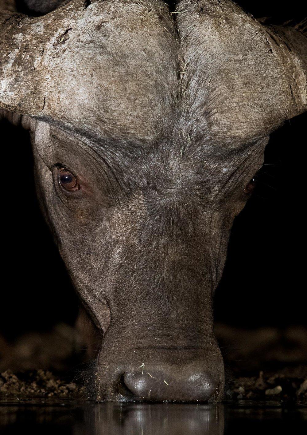 UMGODI: Cape Buffalo  Nikon D500 70-200mm f2.8 at 165mm. 1/160, f3.5, ISO3200