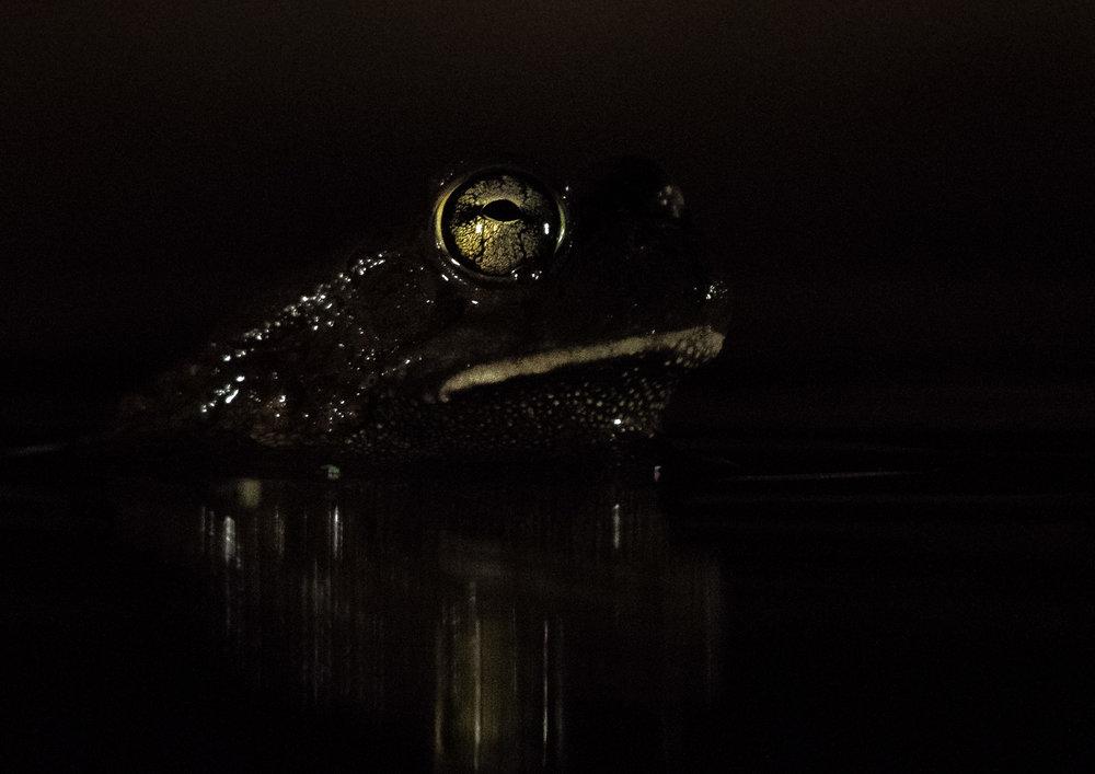 UMGODI: Bullfrog  Nikon D500 200-500mm f5.6 at 500mm. 1/200, f5.6, ISO6400