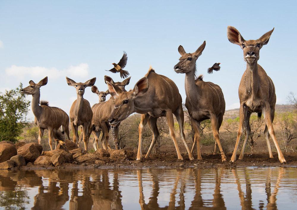 UMGODI: Female Kudu  Nikon D810 24-70mm f2.8 at 40mm. 1/640, f5.6, ISO64