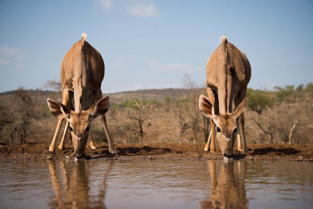 UMGODI: Female Kudu  Nikon D810 24-70mm f2.8 at 58mm. 1/1250, f4, ISO64