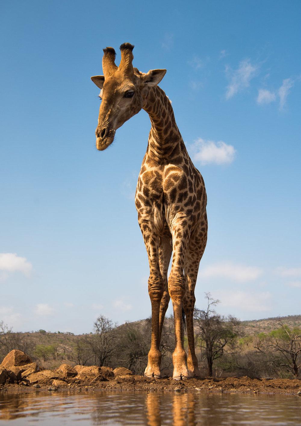 UMGODI: Giraffe  Nikon D810 24-70mm f2.8 at 44mm. 1/640, f5.6, ISO64