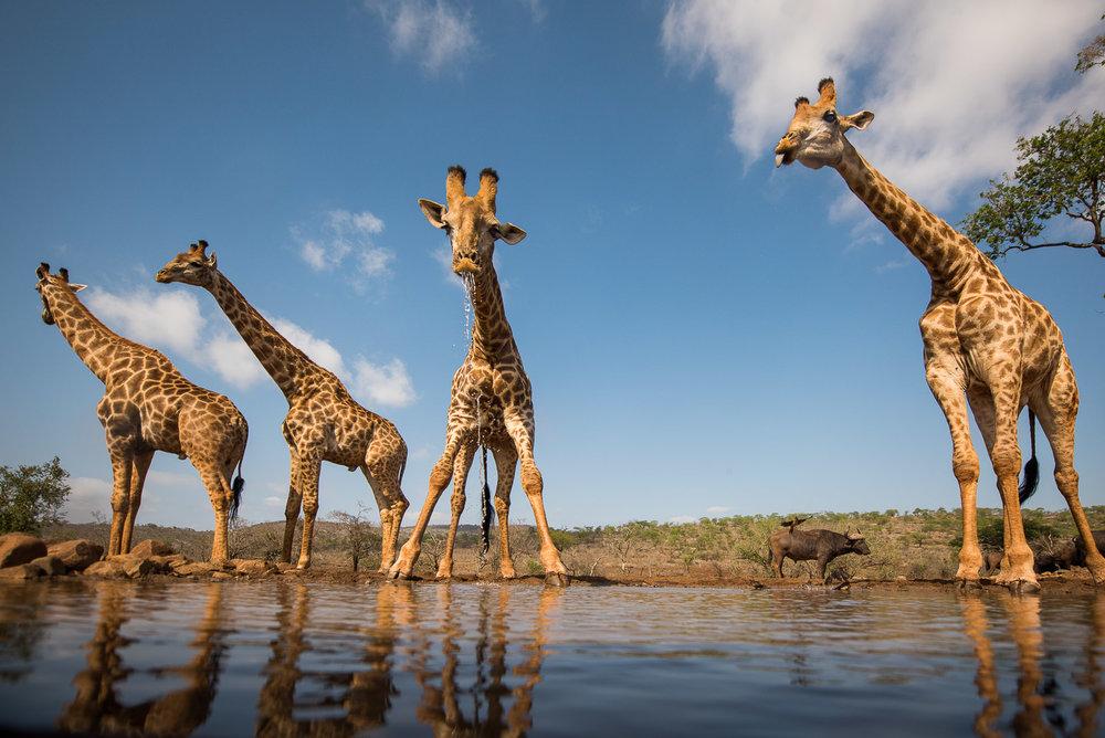 UMGODI: Giraffe  Nikon D810 14-24mm f2.8 at 14mm. 1/3200, f2.8, ISO64
