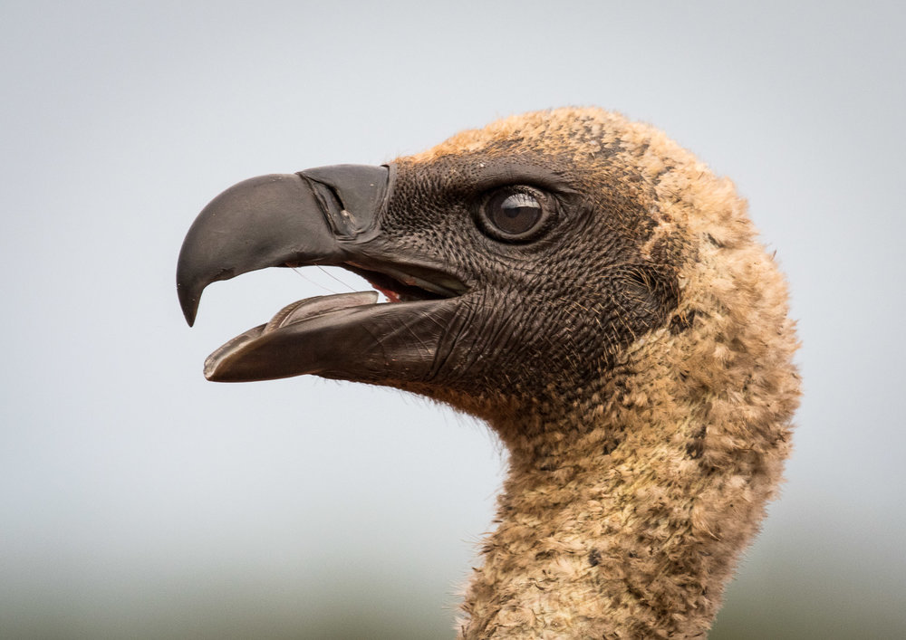 SCAVENGER: African White-backed Griffon Vulture  Nikon D500 200-500mm f5.6 at 390mm. 1/1250, f6.3, ISO640