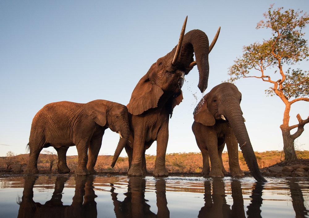 UMGODI: Elephant  Nikon D810 14-24mm f2.8 at 14mm. 1/500, f3.2, ISO400