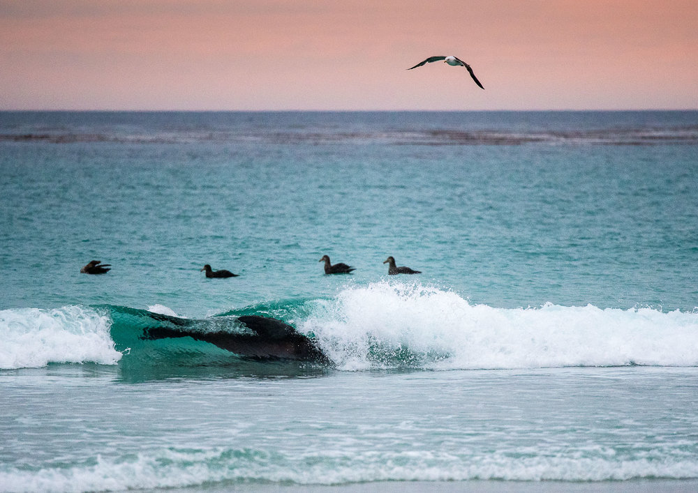 Riding the Surf : Following two failed attempts to capture a penguin for breakfast, the bull sea lion rides the surf back towards Volunteer Beach.   Nikon D500 300mm f4. 1/1000sec f4 ISO 3200
