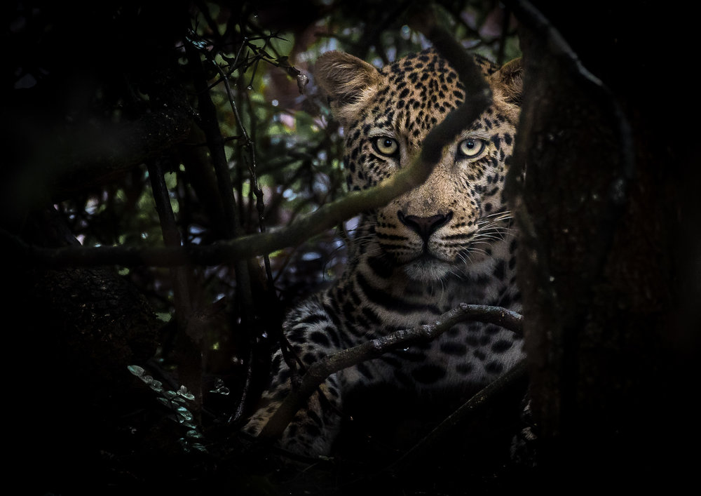 Male leopard sheltering from the rain.  Nikon D500 200-500mm f5.6 at 500mm. 1/100, f6.3, ISO1250