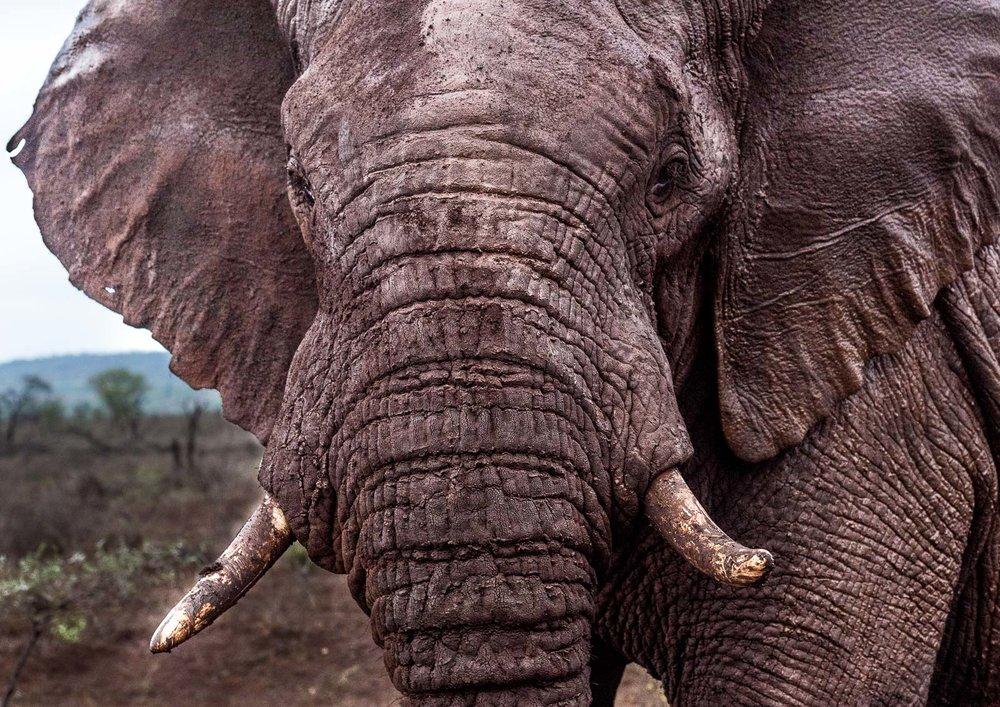 Bull elephant  Nikon D810 70-200mm f2.8 at 70mm. 1/200, f5.0, ISO800
