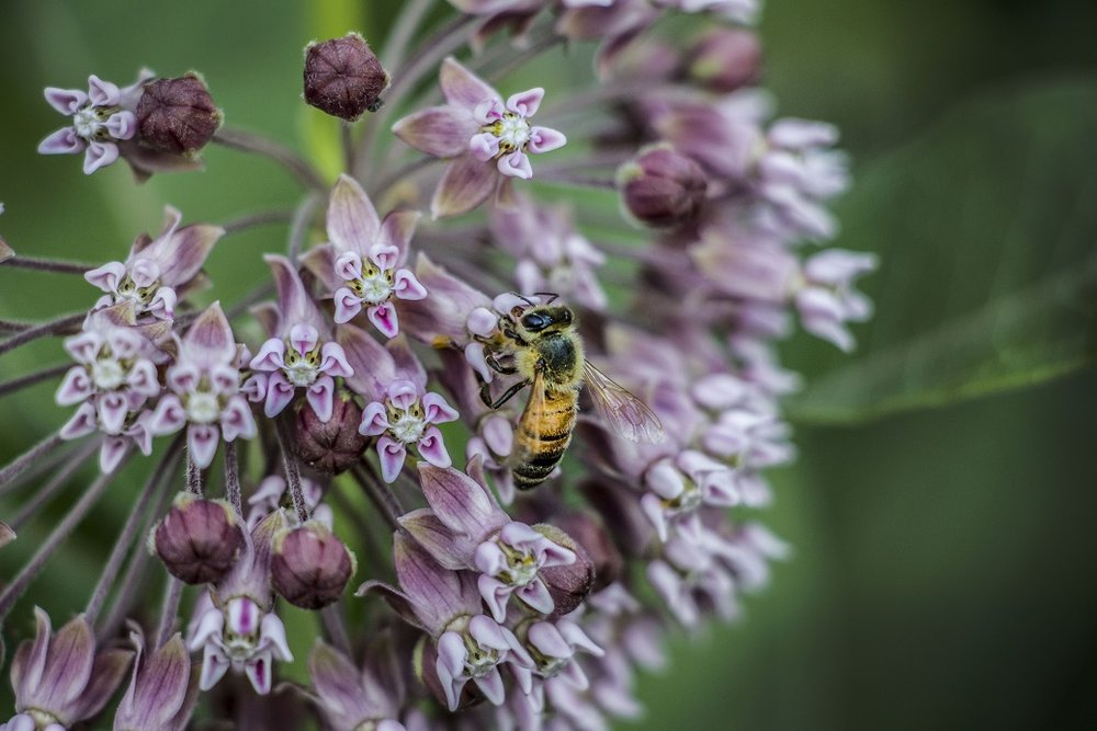 Honey bee on milkweed.  Photo by Sarah Scott