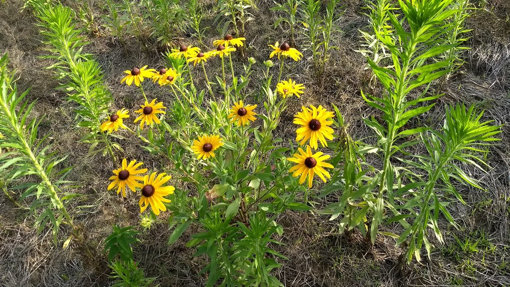 Rudbeckia hirta - lots of mare's tale, but it isn't thick enough to crowd our seedlings.