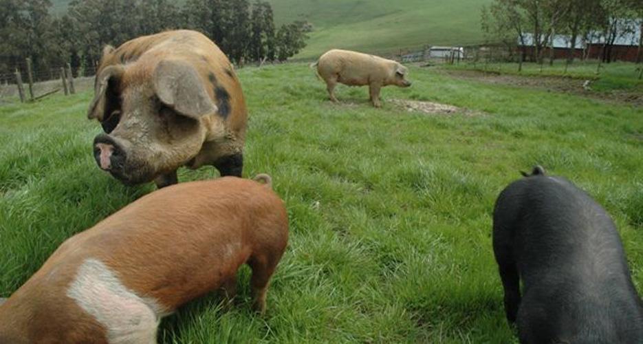 Heritage pigs at Kalon Farm, Lancaster MA