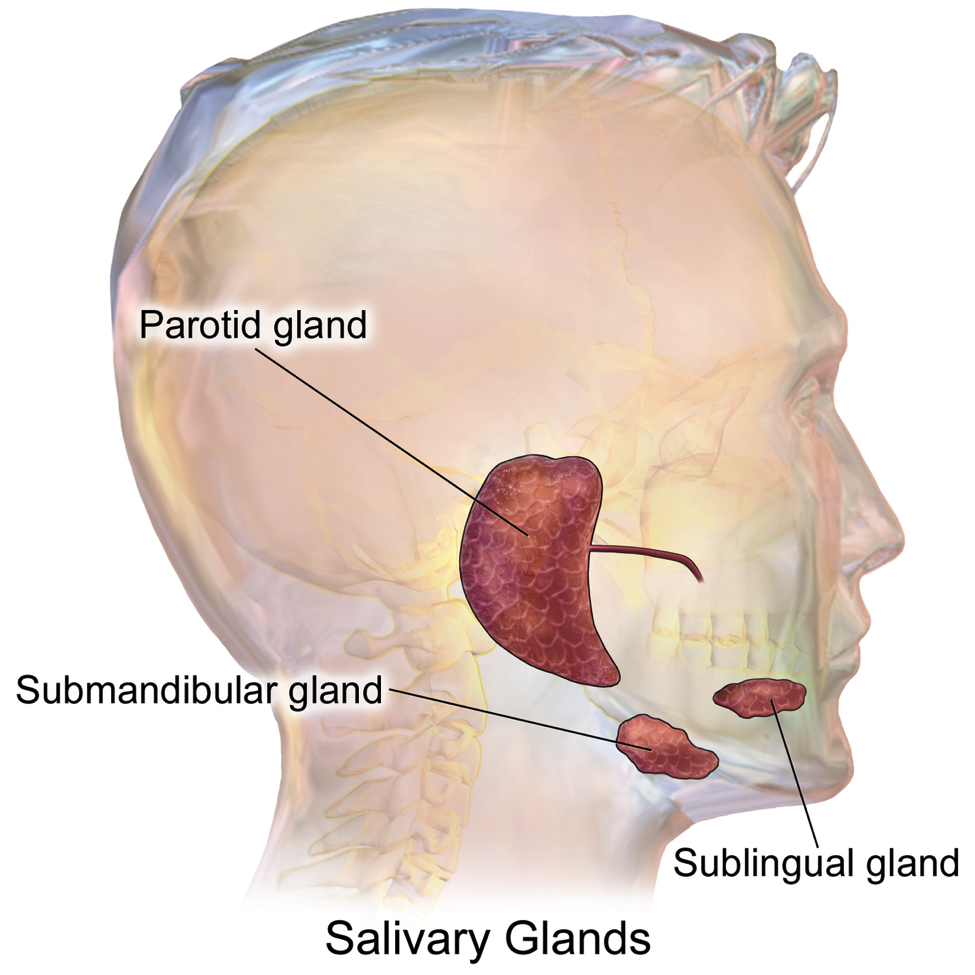 Figure 1 Salivary glands. Souce: Blausen gallery 2014. Wikiversity Journal of Medicine.  DOI : 10.15347/wjm/2014.010 , with thanks.