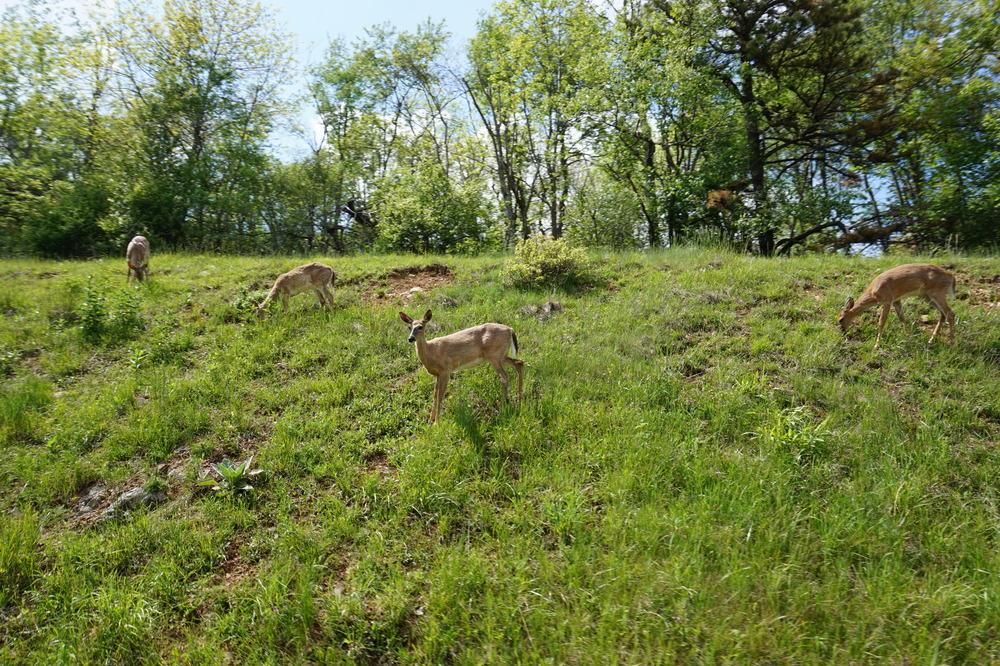 deer_shenandoah_wildlife