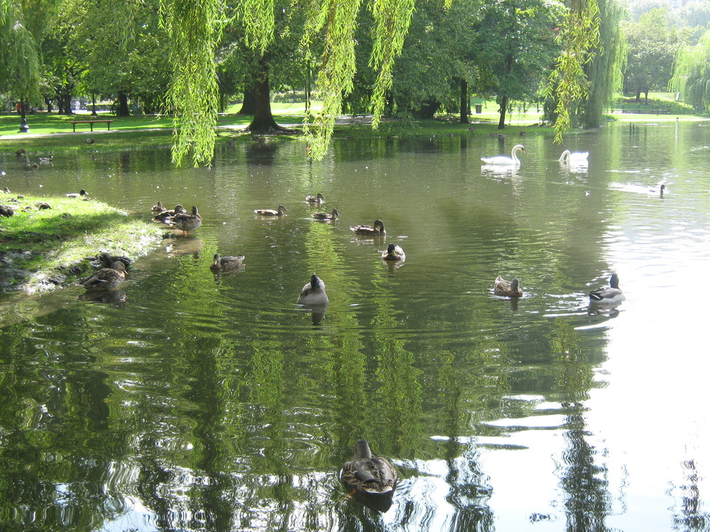 The famous Public Garden ducks
