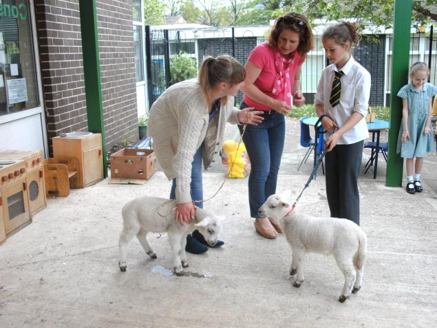 Here is a picture  of the lambs which visited our school.