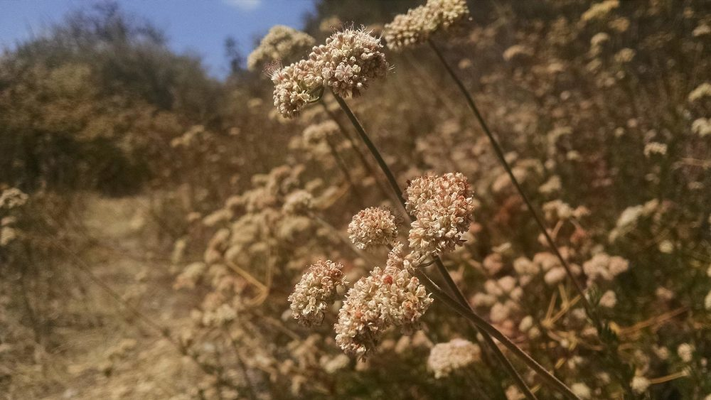 California buckwheat, Erigonum fasciculatum, blooms throughout the late spring and summer giving a moderately intense honey with extremely strong floral characteristics.