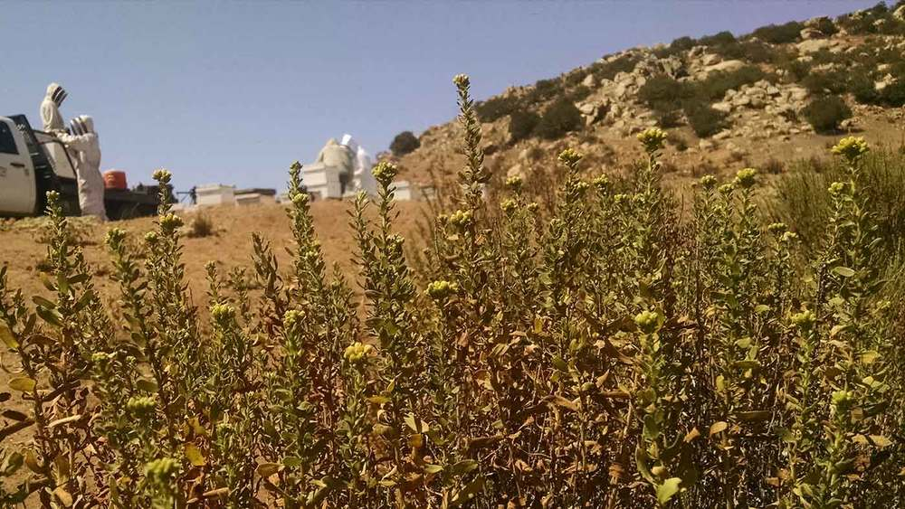 Our team works to collect local San Diego mountain wildflower honey from our hives. In the foreground is a native California goldenbush,  Isocoma menziesii .